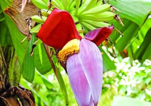 Impressive health benefits of banana flowers