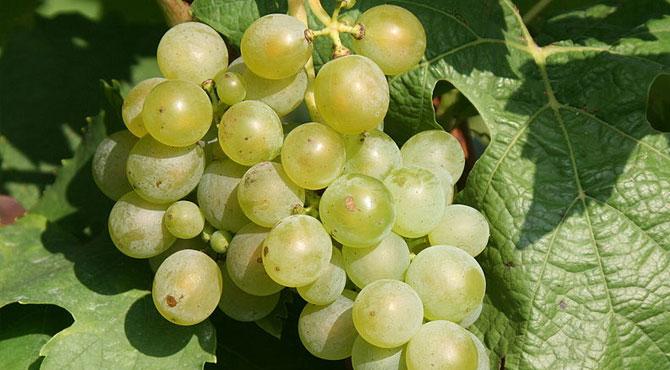Muller-grapes