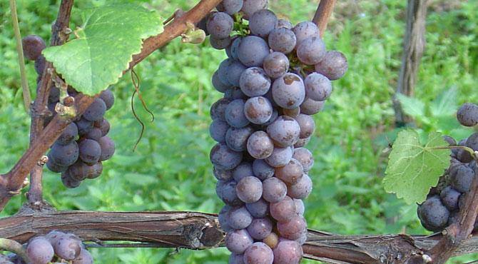 Pinot-Gris-grapes