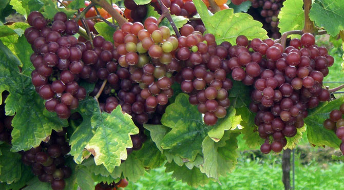 Siegerrebe-grapes
