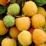 Golden or yellow Raspberries