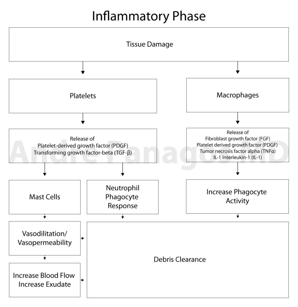 Healing cascade Inflammatory Phase