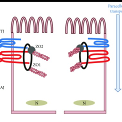 Tight Junctions: Defective Intestinal Barrier and Pathological Conditions