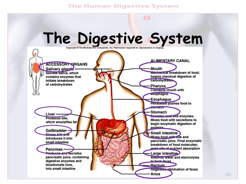 The Digestive System Of Human And How To Protect