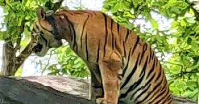 बाघ टी 1324 का इलाज मुक्की उपचार केन्द्र में होगा