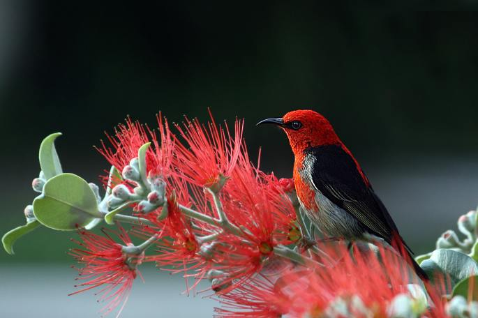 nature-bird-red-wildlife-36762
