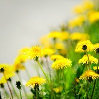 What Is Dandelion? Top Benefits And Uses Of The Dandelion Plant