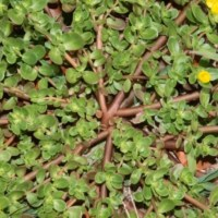 Purslane (Portulaca Oleracea, Verdolaga) -- Edible, Nutritious Weed With High Omega 3 Levels