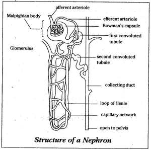 Diagram of nephron | Healthiack