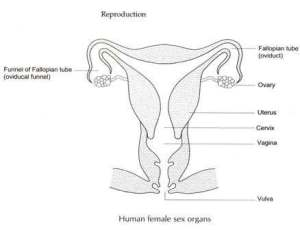 Female reproductive system diagram