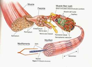 Muscle cell diagram