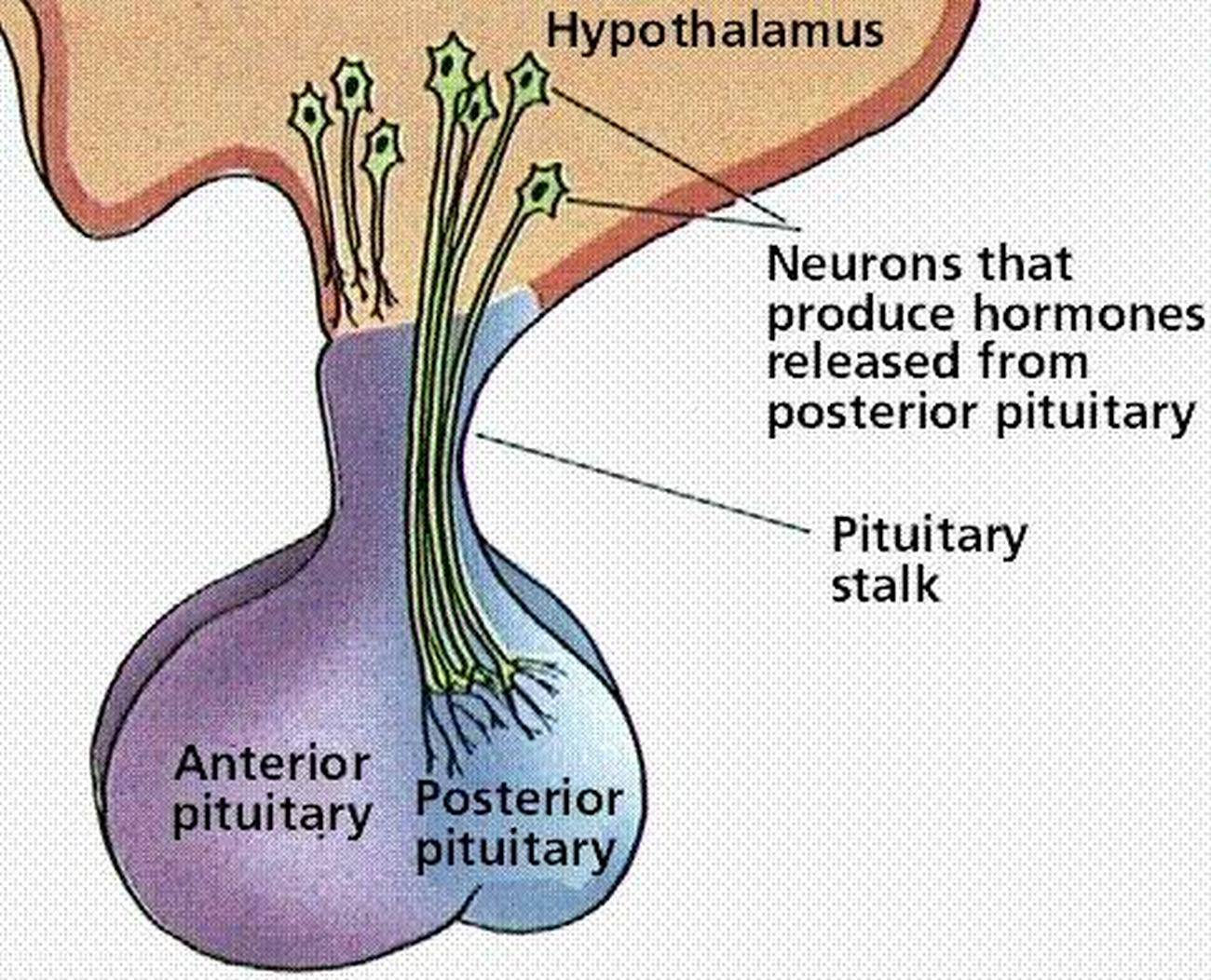 Pictures Of Anterior Lobe Of The Pituitary Gland