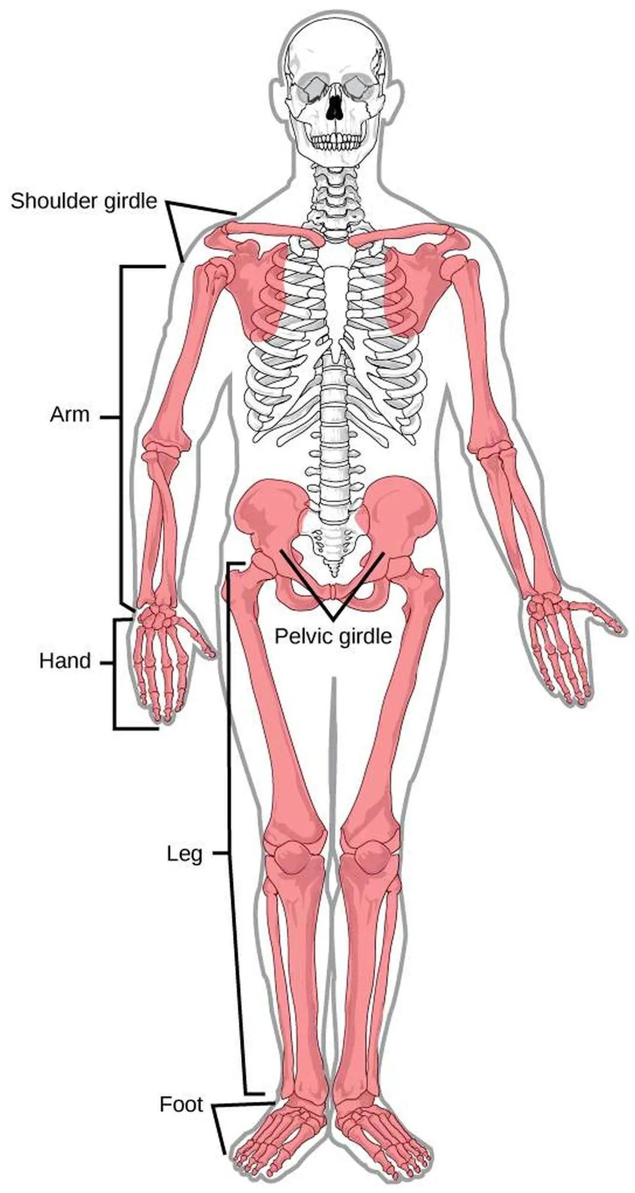 Pictures Of Appendicular Skeletonhealthiack