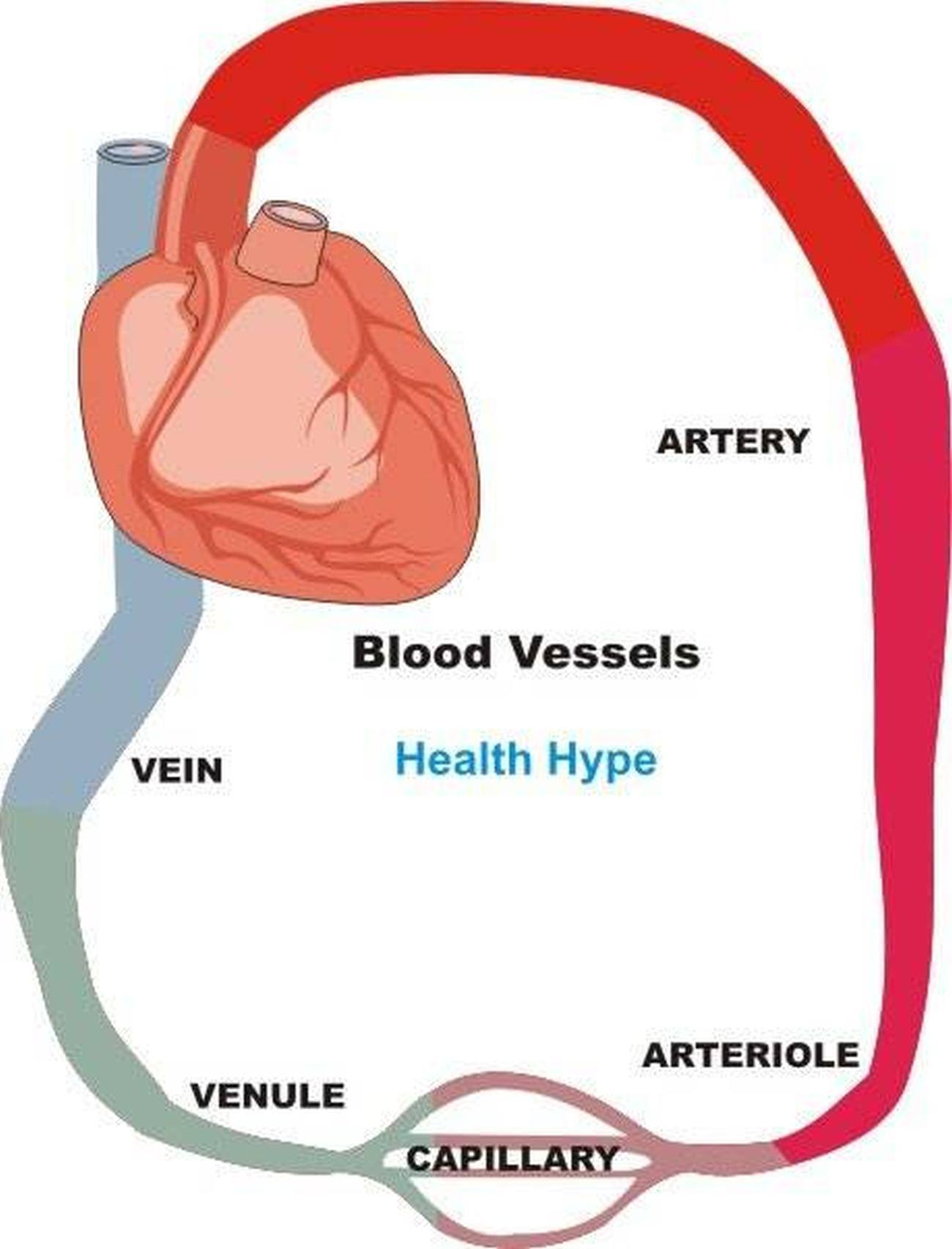 Pictures Of Blood Vessels