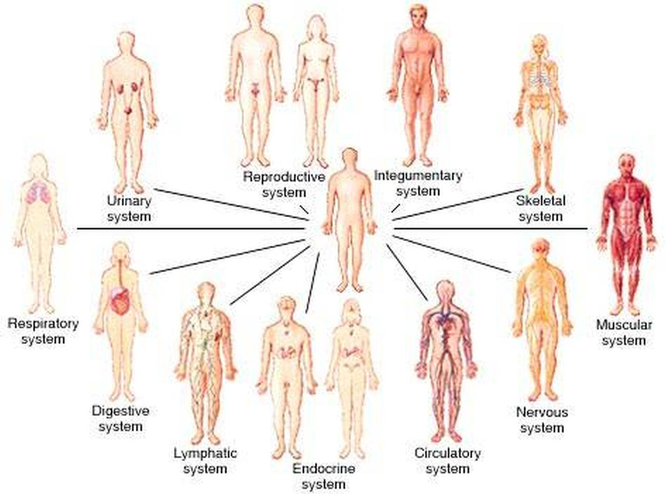 Pictures Of Body Systems