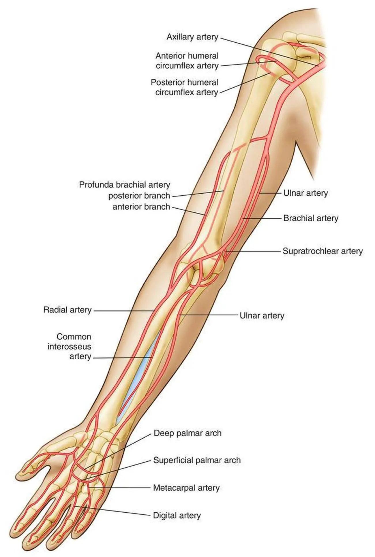 Brachial Artery Anatomy
