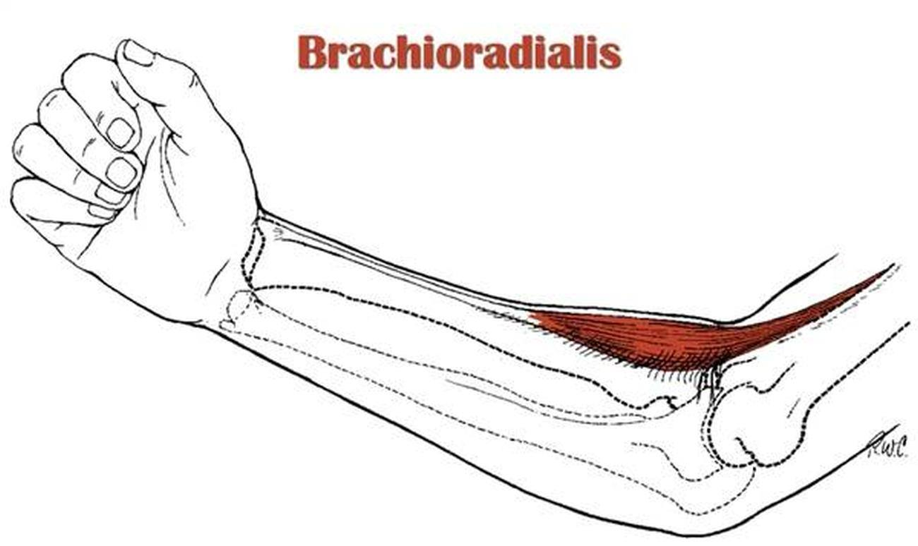 Pictures Of Brachioradialis