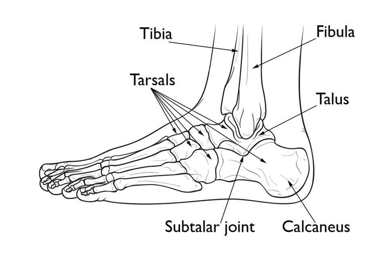 Pictures Of Calcaneus