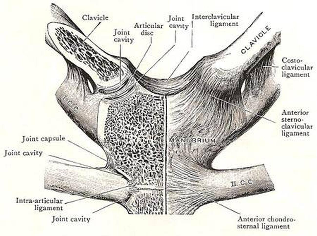 Pictures Of Capsular Ligament Of The Sternoclavicular