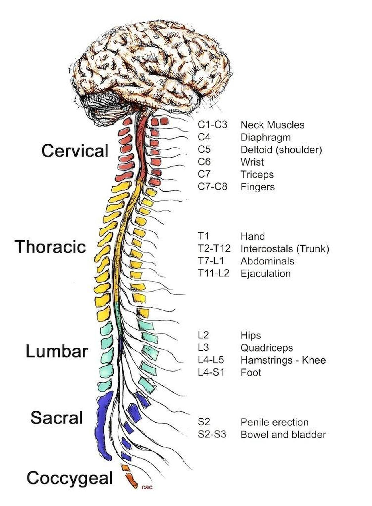 Pictures Of Central Nervous System