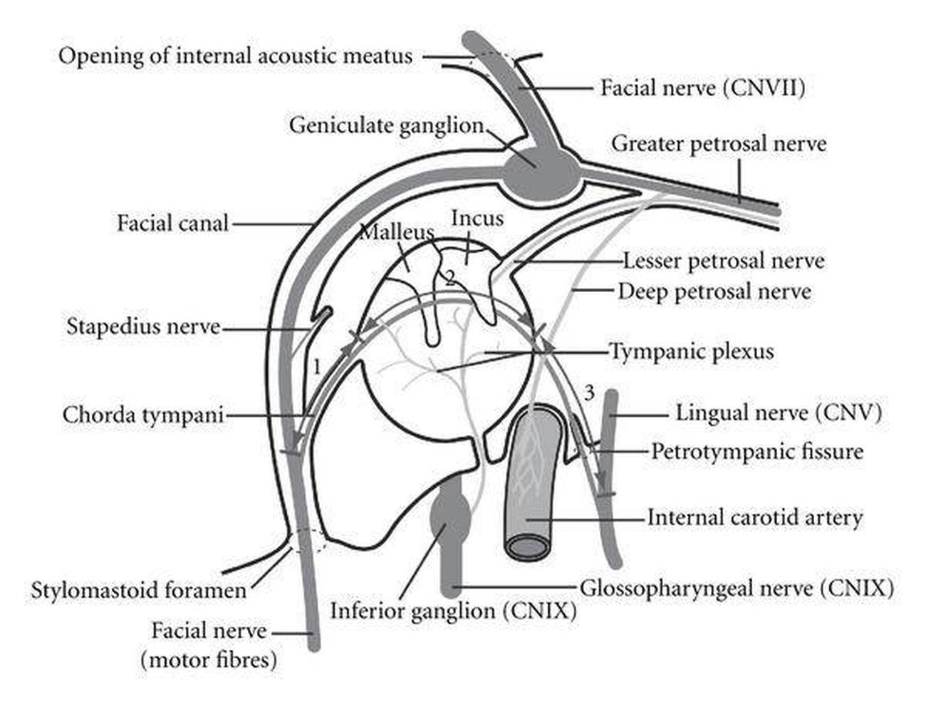 Pictures Of Chorda Tympani Nerve