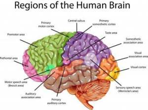 Simple brain diagram