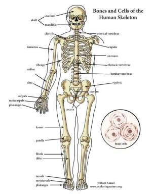 Skeletal system diagram | Healthiack