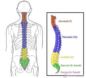 Thoracic vertebrae diagram