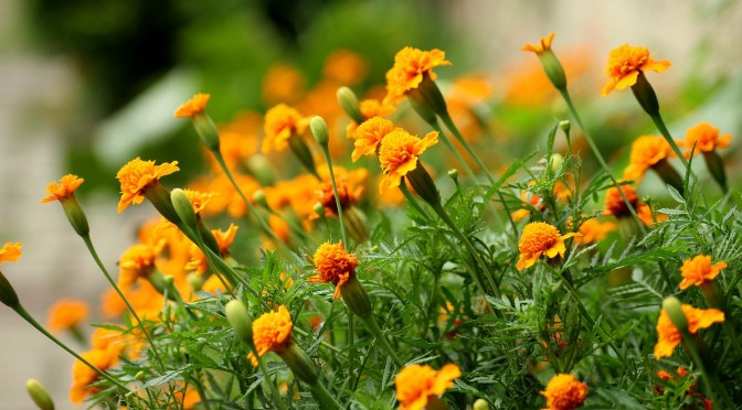 Marigold Plant Care Benefits with Classification (GENDA PHOOL)
