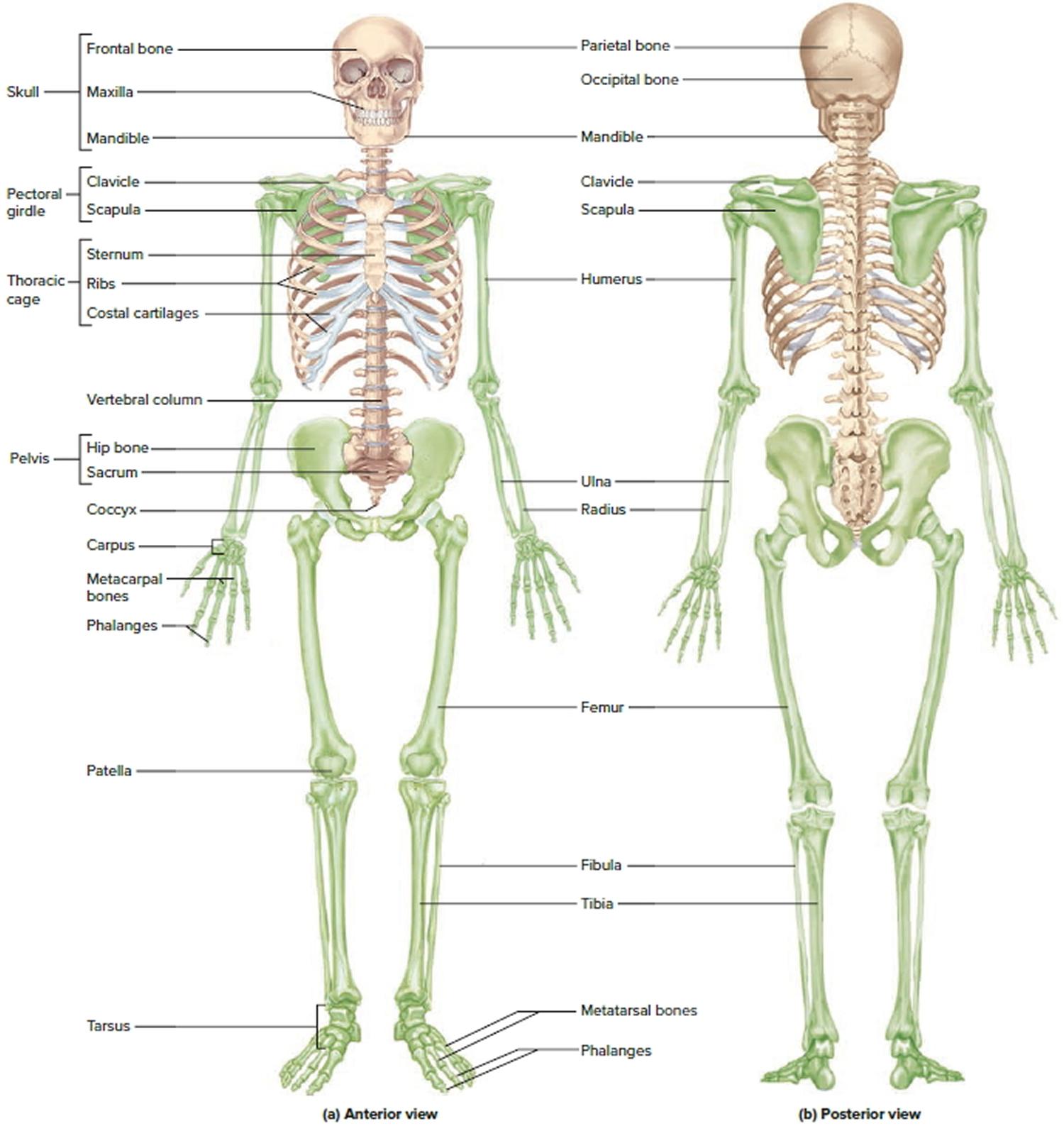 Worksheet Human Anatomy Bones