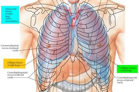 Interior Inferior Pulmonary Ligament Full Hd Maps Locations