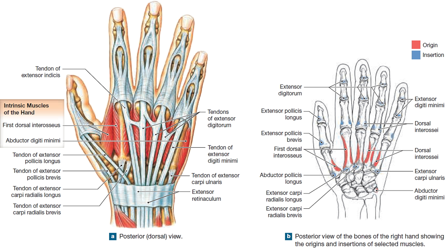 Muscles That Move The Thumb