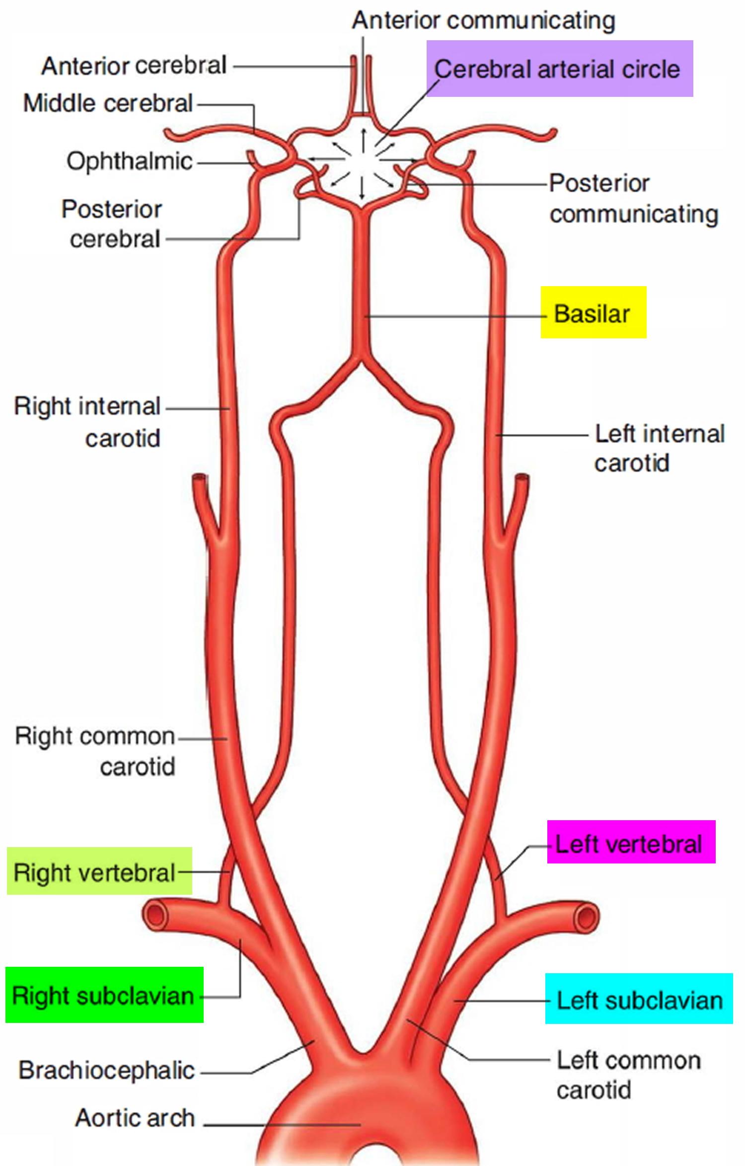 Left innominate vein anatomy