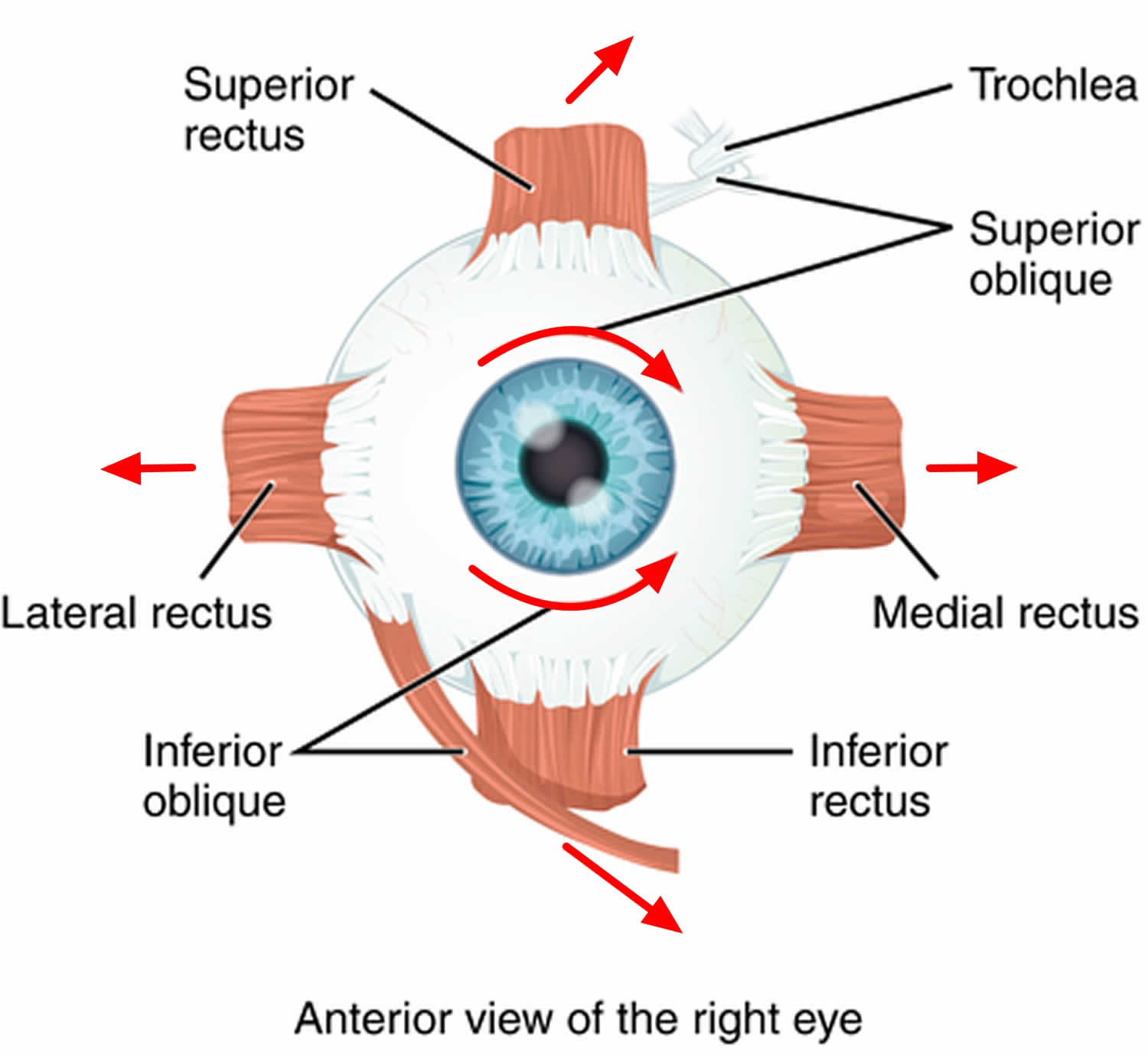 Strabismus Causes Symptoms Diagnosis Strabismus