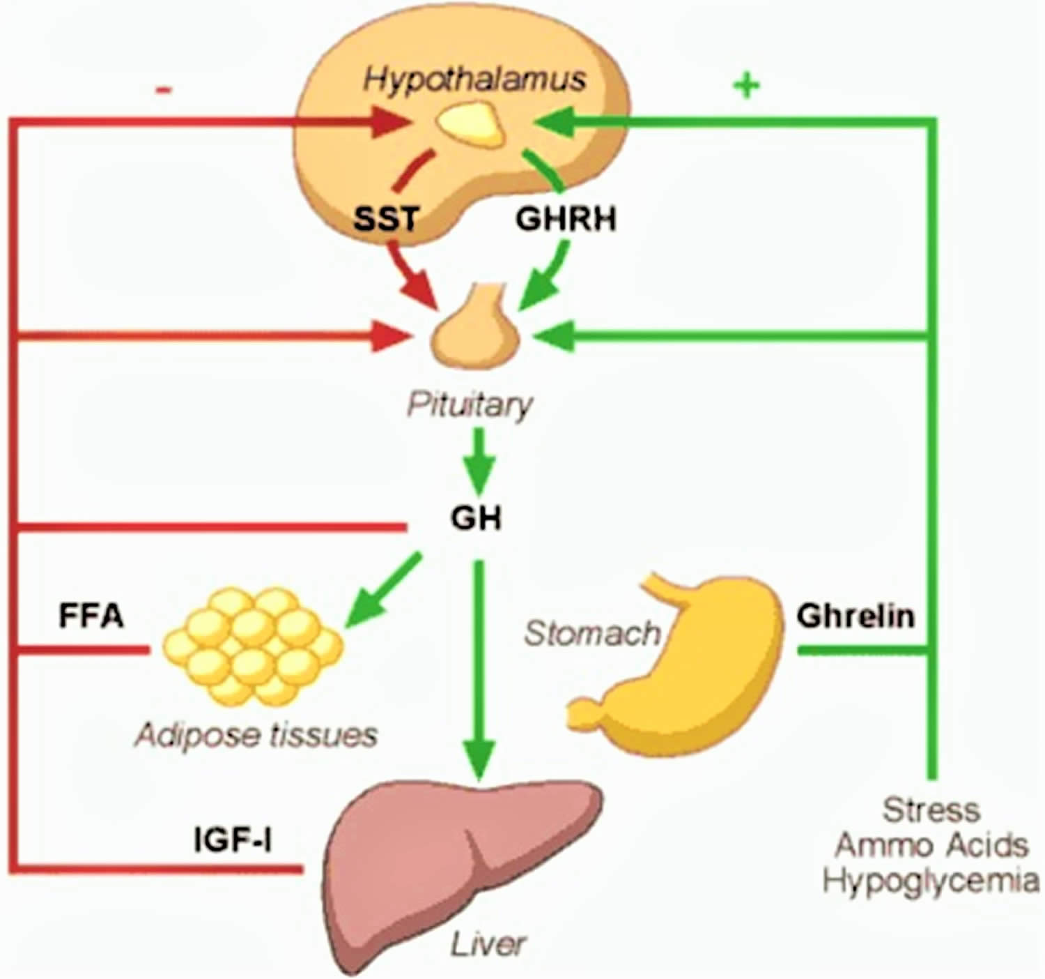 Hgh Or Human Growth Hormone Function Uses Dosage Amp Side