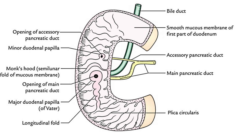 Duodenum Anatomy Parts Location Duodenum Function