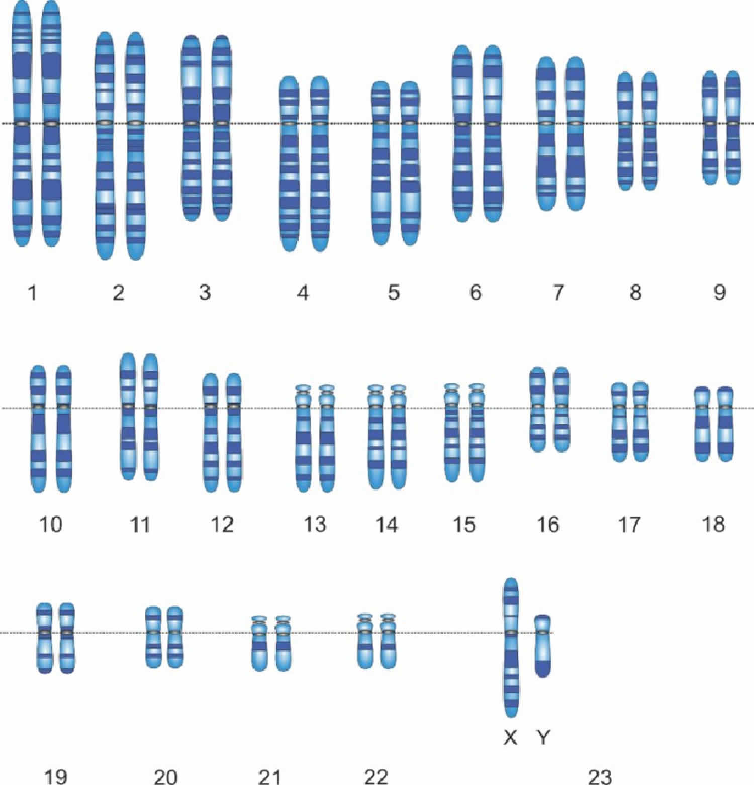 Karyotype Karyotype Test Ampysis Normal Karyotype