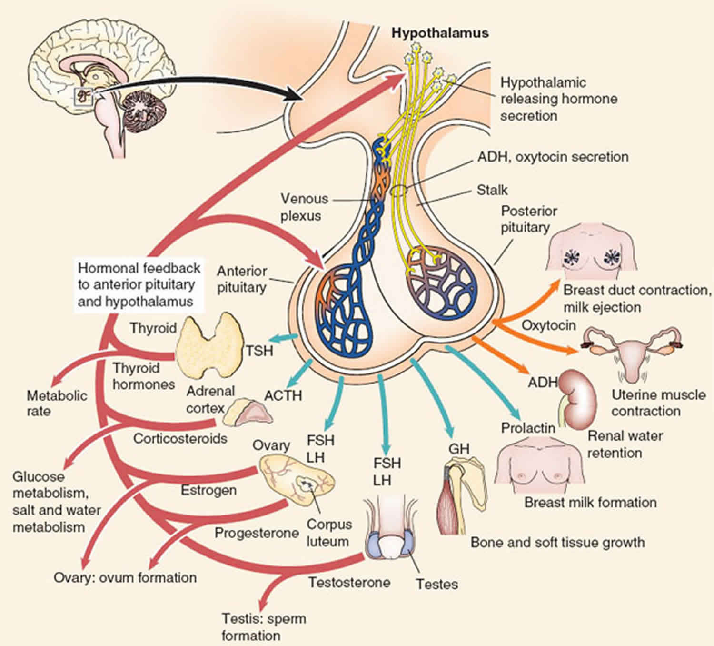 Anterior Pituitary Function Anterior Pituitary Hormones
