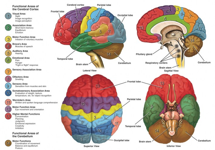 brain-anatomy-function-healthlove-in