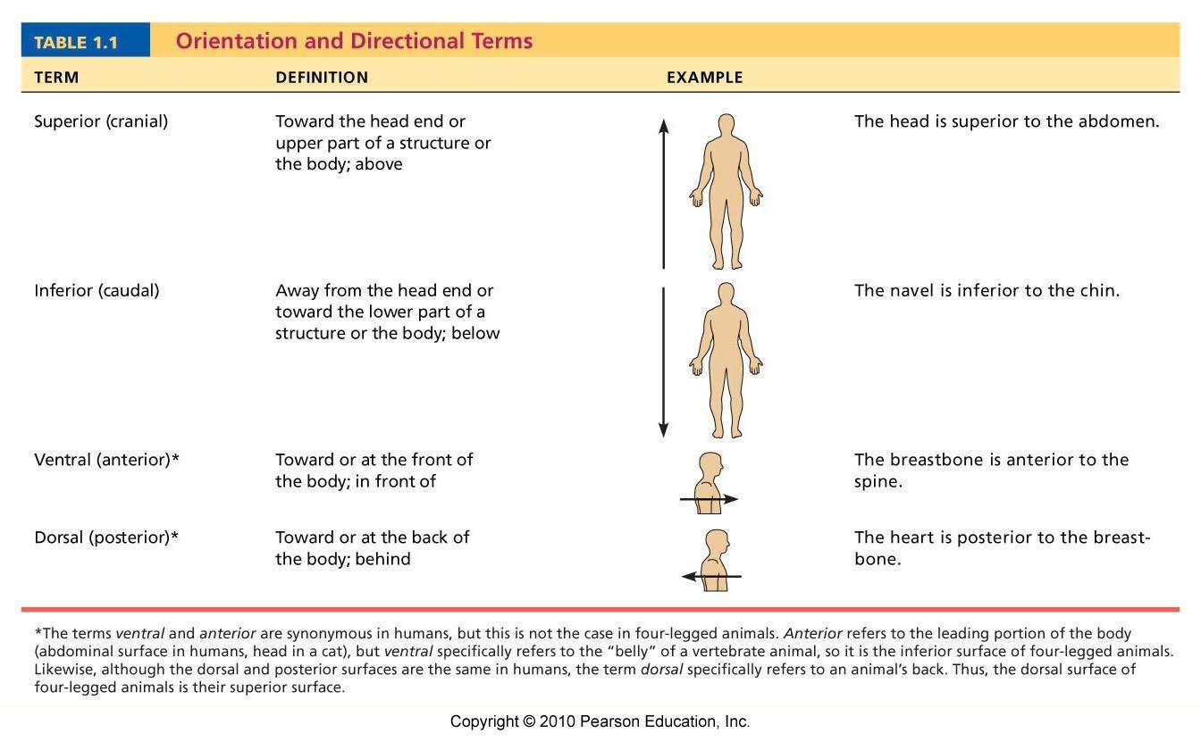 Anatomy Directional Terms Quiz