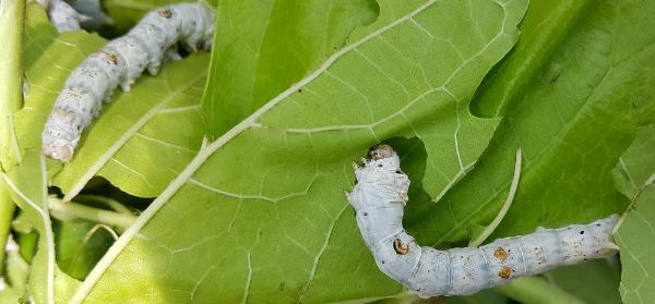 Silkworms Fed on Nanotubes Produce Conductive Thread