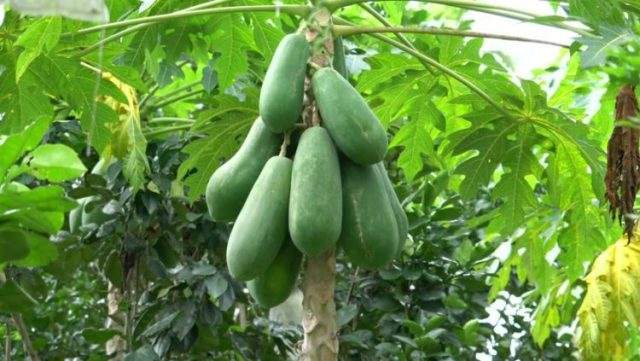 How to Treat Ulcers with Unripe Pawpaw » Health Tips