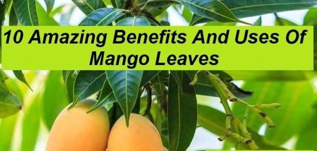 10 Amazing Benefits And Uses Of Mango Leaves