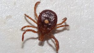 "The ""Reverse Zombie"" Tick Is Spreading Around America, Causing A Strange Condition As It Goes"