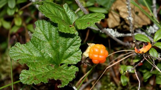 cloudberry-1946487__340