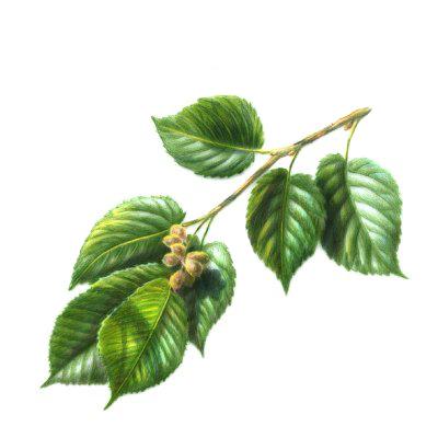 Slippery Elm Herb
