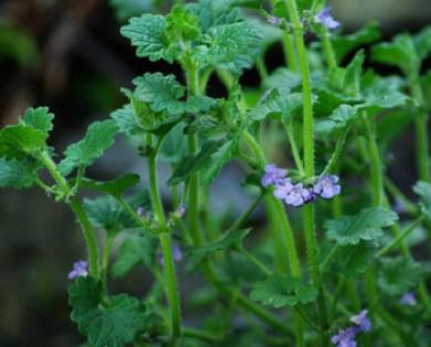 Alehoof Herb