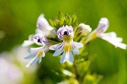 Eyebright Herb
