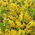 Forsythia Fruit