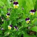 Heartsease Herb